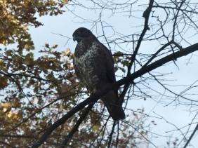 Raubvogel im Kleinen Tiergarten